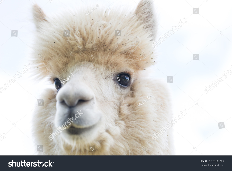 Alpaca Portrait Stock Photo 206292634 : Shutterstock