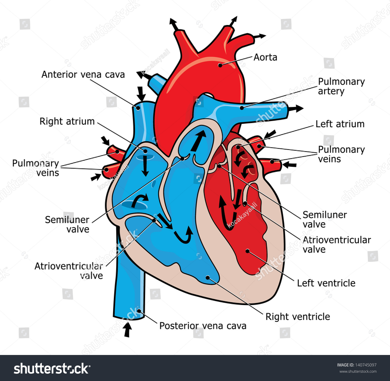Anatomy Of The Human Heart Stock Photo Shutterstock