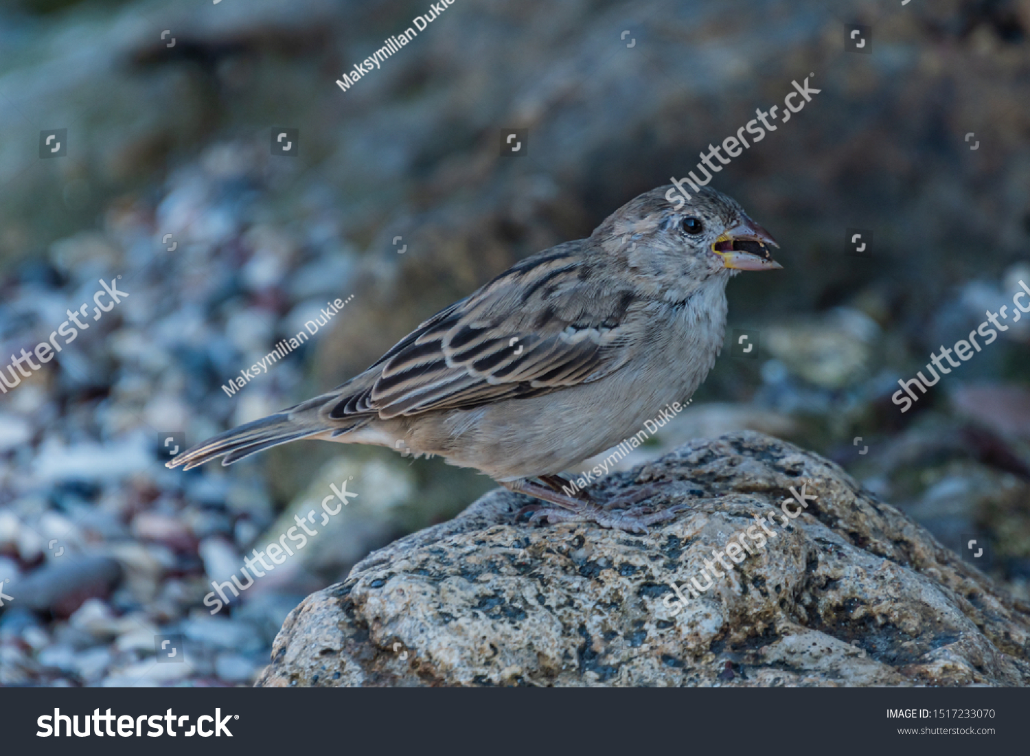 Beautiful Sparrow Rhodes Greece Stock Photo Edit Now 1517233070
