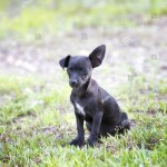 Black Chihuahua Puppy Floppy Ear Stock Photo Edit Now 149489669