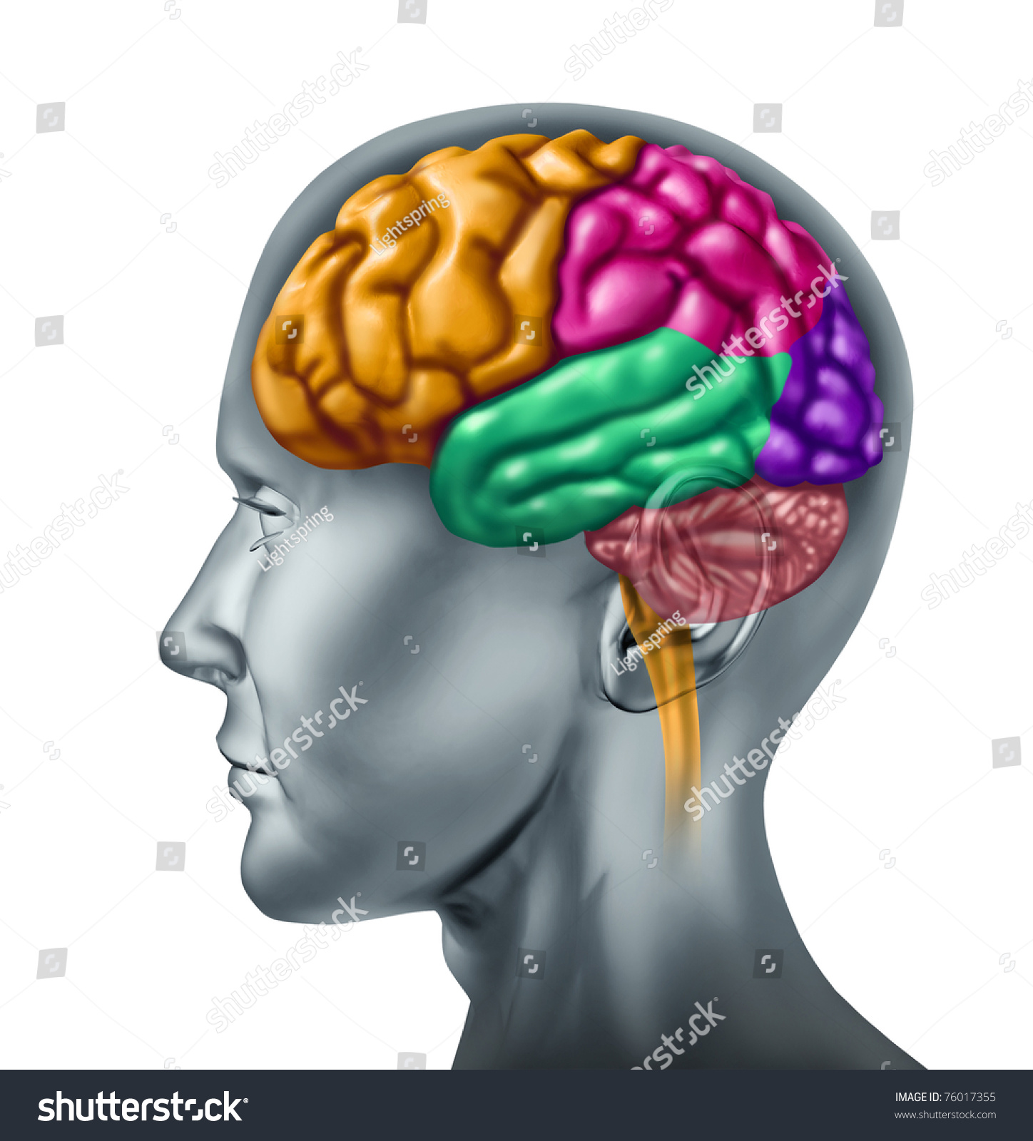 Brain Lobe Sections With Divisions In Color Representing