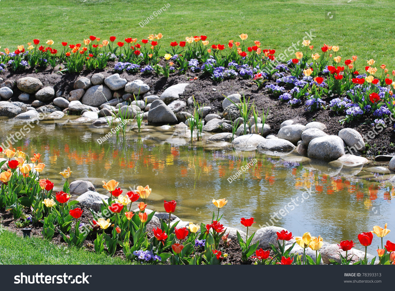 Brightly Colored Red And Yellow Tulips With Rocks