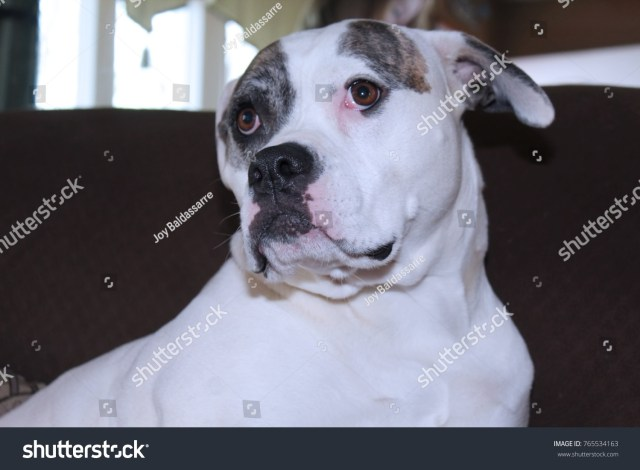 brown white american bulldog stock photo (edit now) 765534163