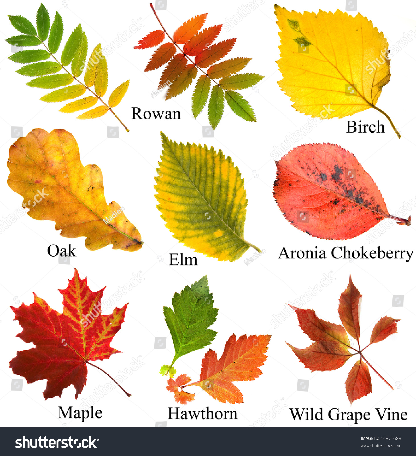 Collection Set Beautiful Colored Autumn Leaves Stock Photo