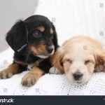 Cute English Cocker Spaniel Puppies On Stock Photo Edit Now 1533344756