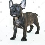 Cute Little Frenchie Puppy Looking On Stock Photo Edit Now 218344975