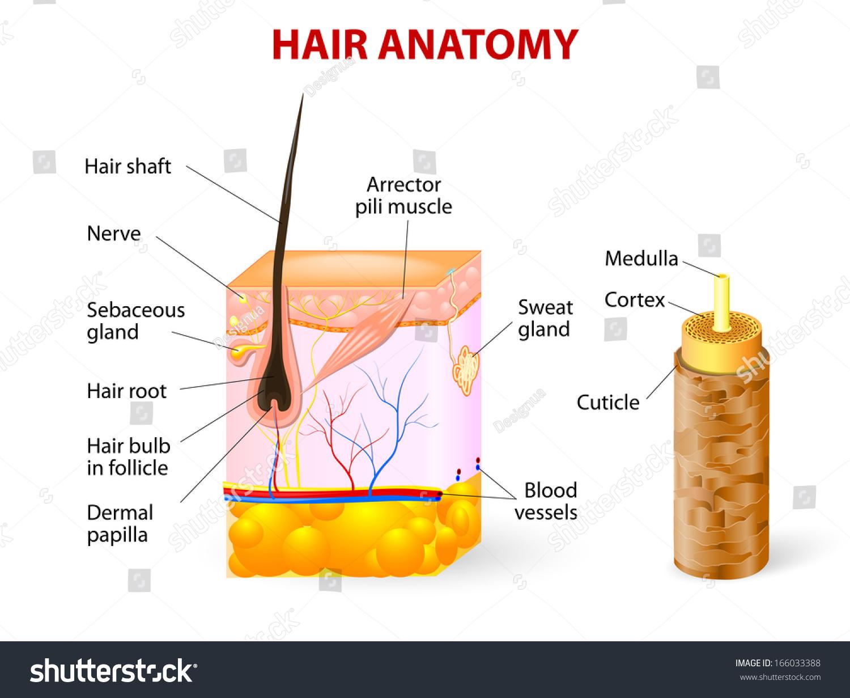 Diagram Hair Follicle Cross Section Skin Stock