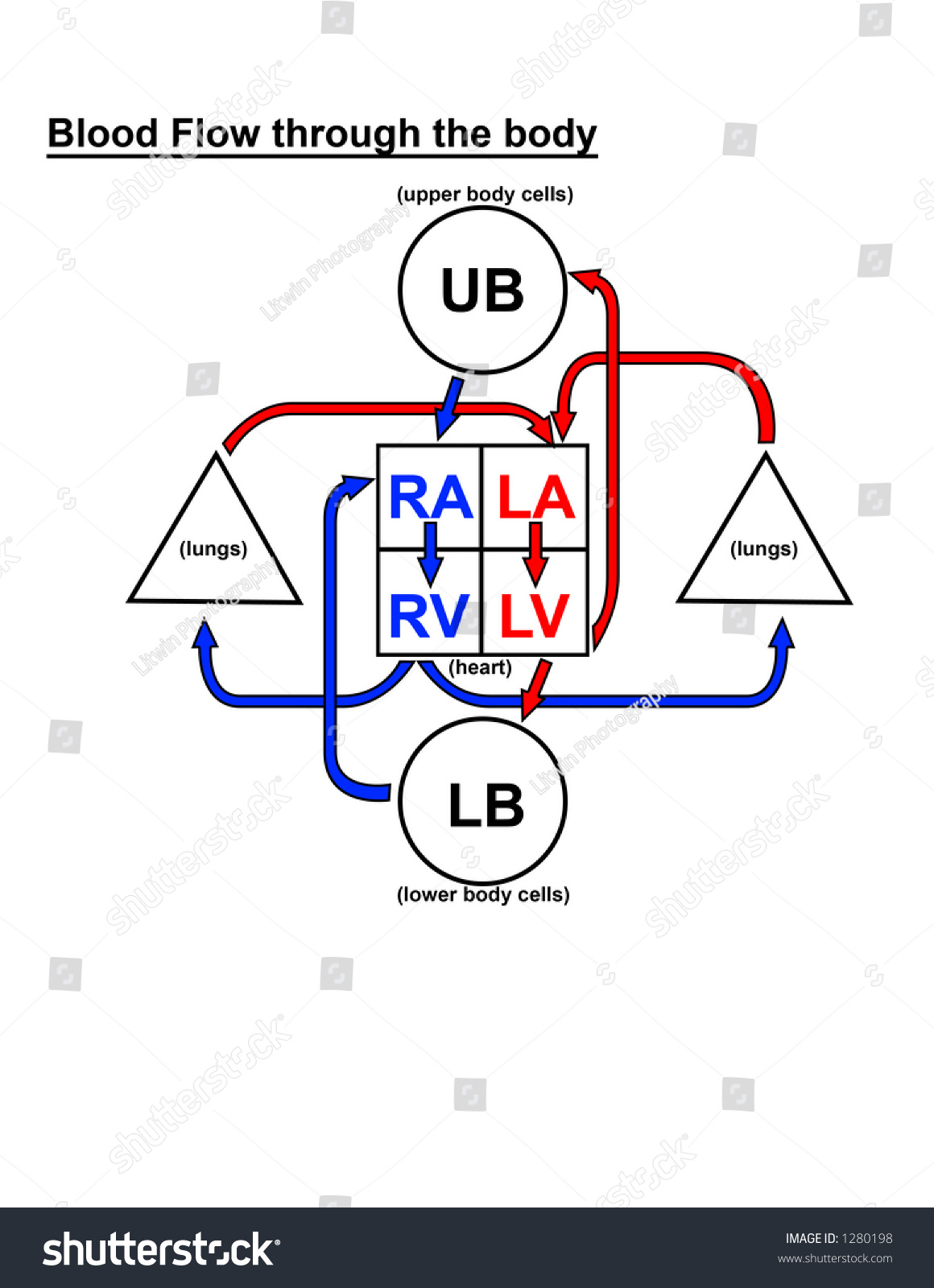 Diagram Blood Flow Through Body Stock Illustration
