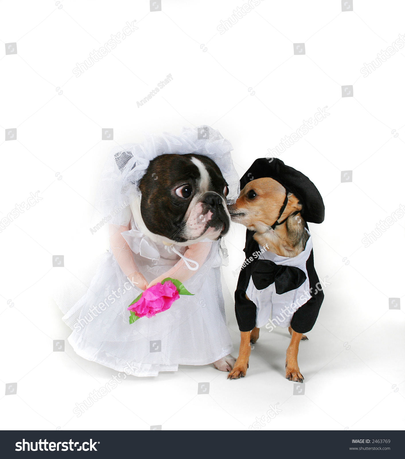 Boo Getting Married Dogs Puppy