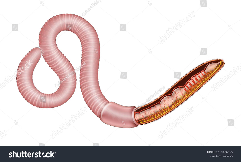 Weathergram Get 21 Earthworm Anatomy