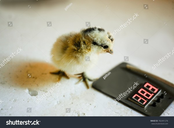 Chicken from the inkubator