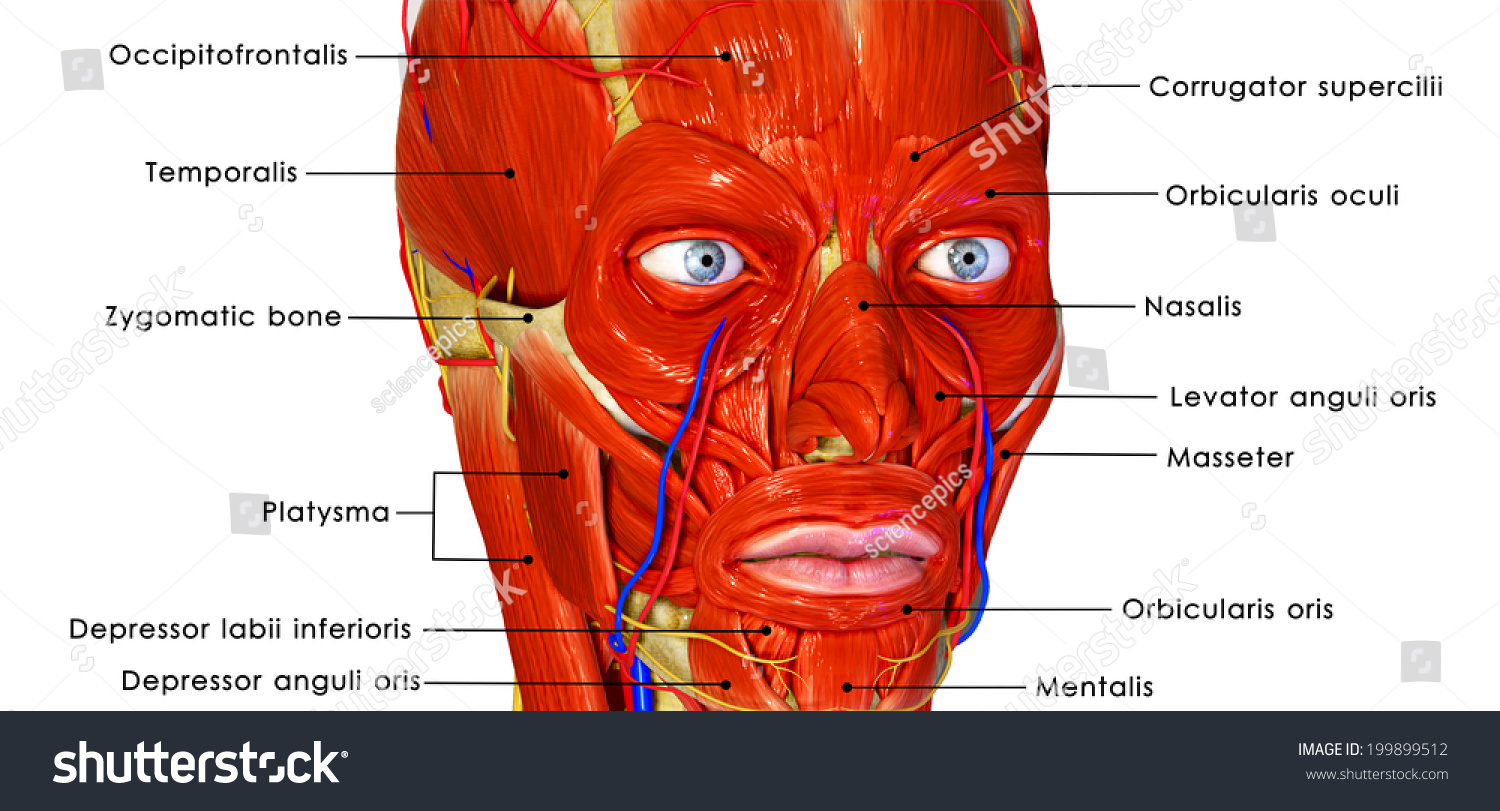 Facial Muscles Labelled Stock Photo Shutterstock