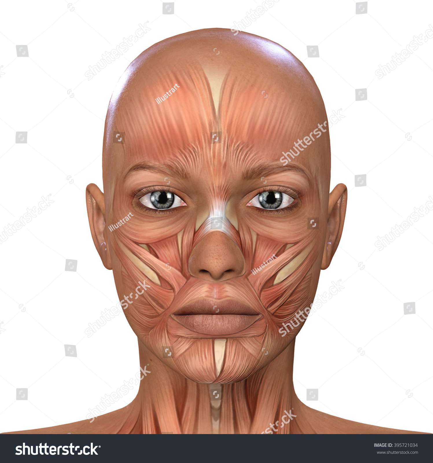 Female Face Muscles Anatomy Stock Illustration