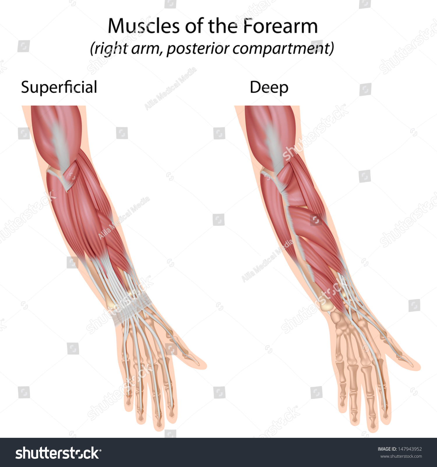 Forearm Muscles Dorsal Compartment Unlabeled Stock