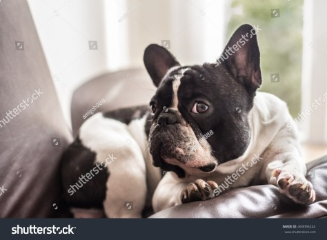 stock-photo-french-bulldog-looking-suspiciously-on-a-leather-couch-469096244