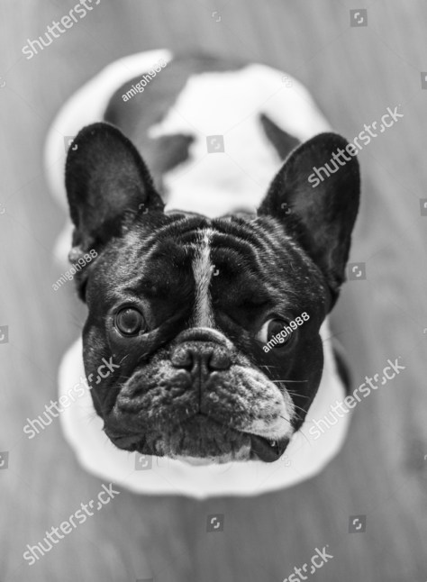 stock-photo-french-bulldog-looking-up-black-and-white-469096238
