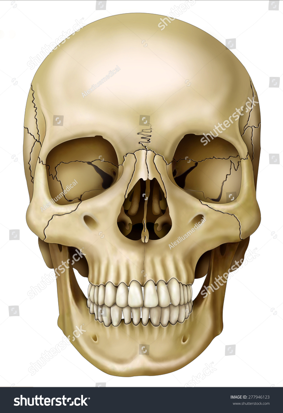 Front View Of Human Skull Stock Photo Shutterstock