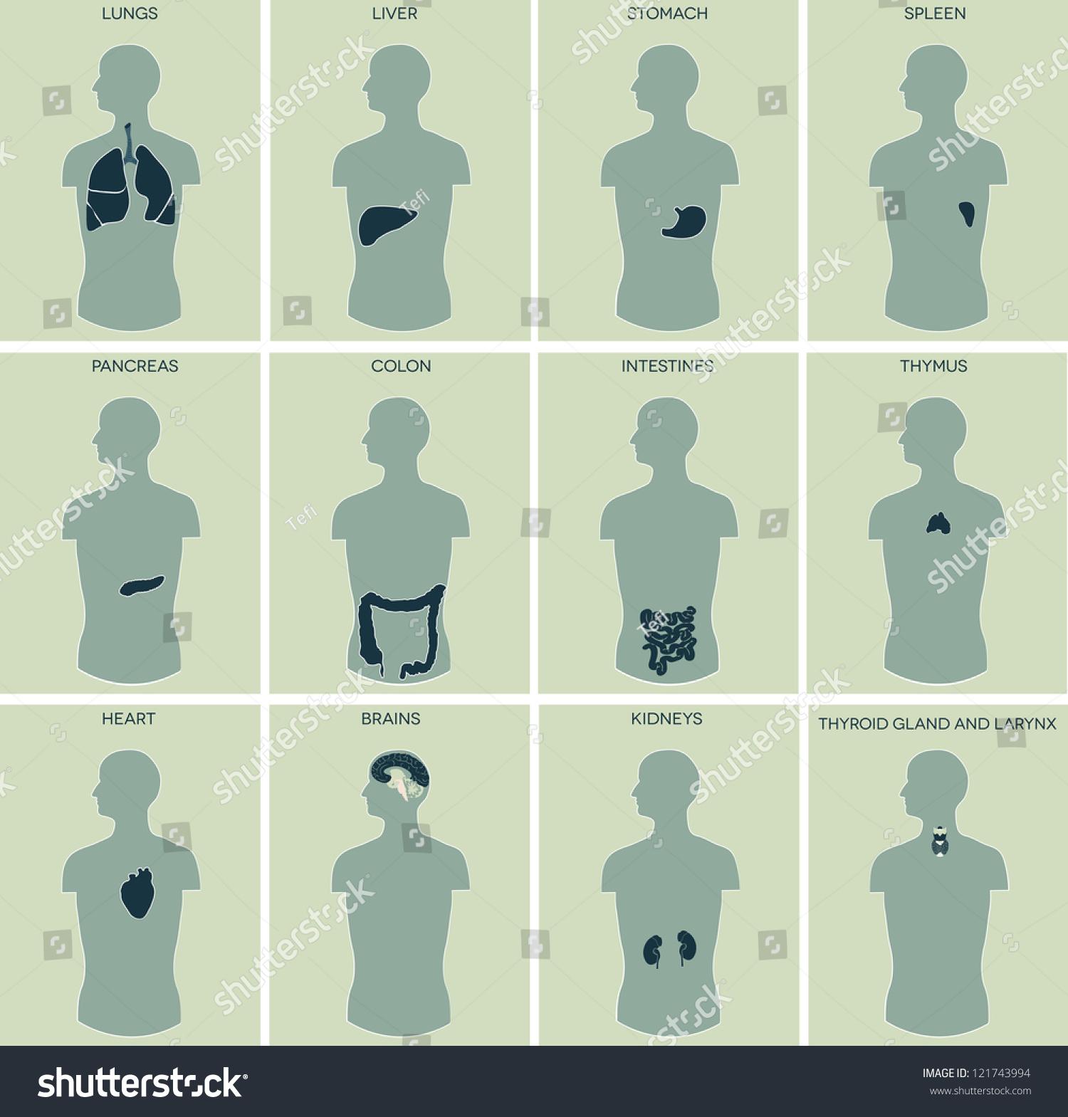 Human Anatomy Detailed Diagram Of Various Human Organs