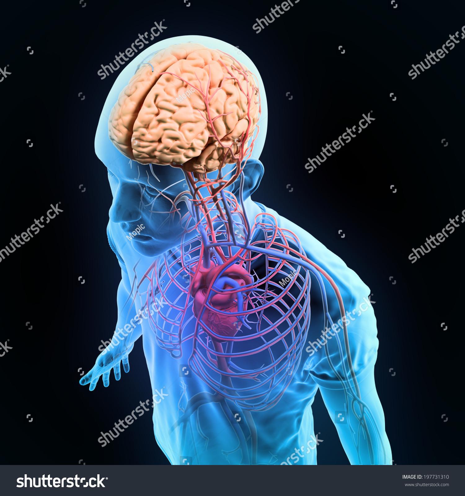 Human Anatomy Illustration Central Nervous System Stock