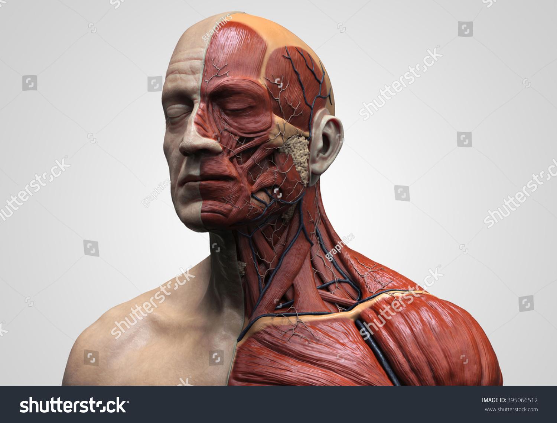 Human Anatomy Muscle Anatomy Face Neck Stock Illustration