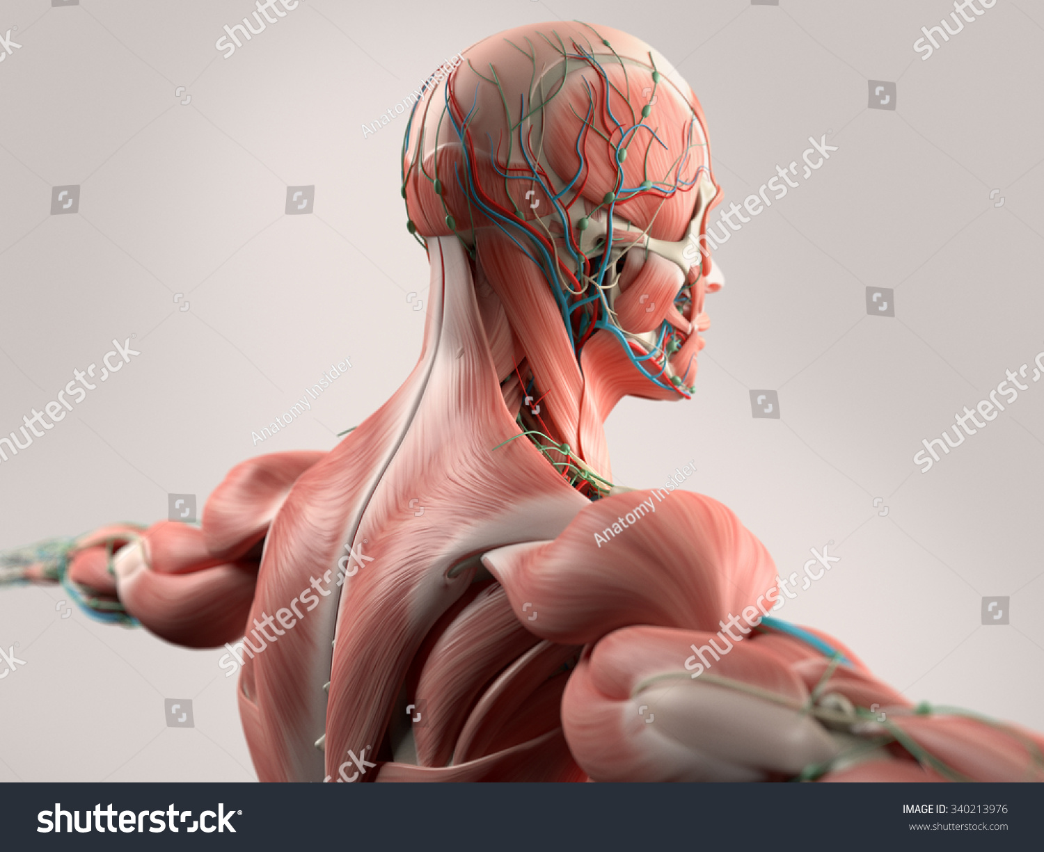 Human Anatomy Showing Face Head Shoulders Stock