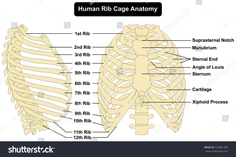 Human Chest Bones Diagram