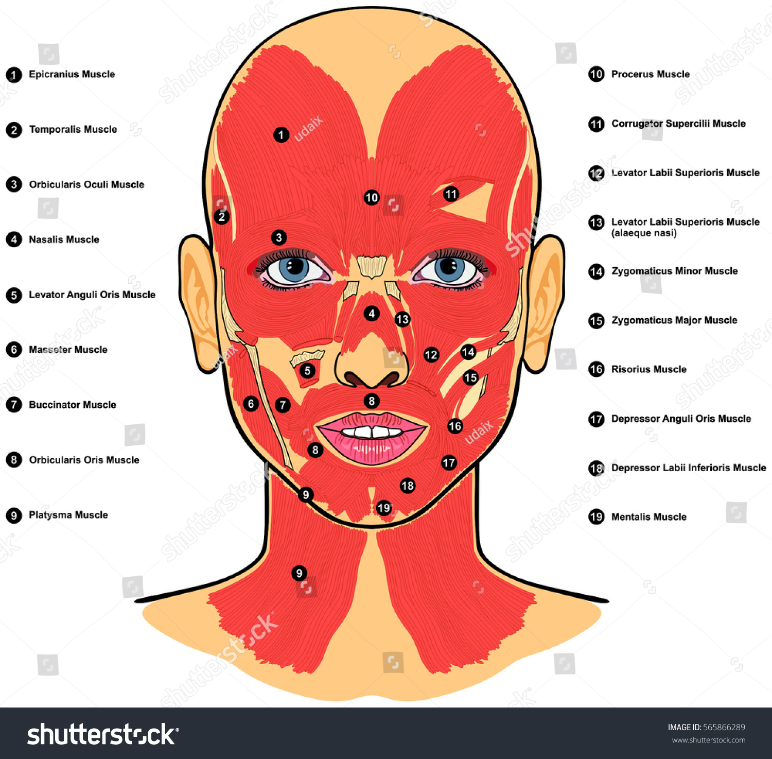 Human Face Muscles Anatomy Labeled Names Stock Illustration