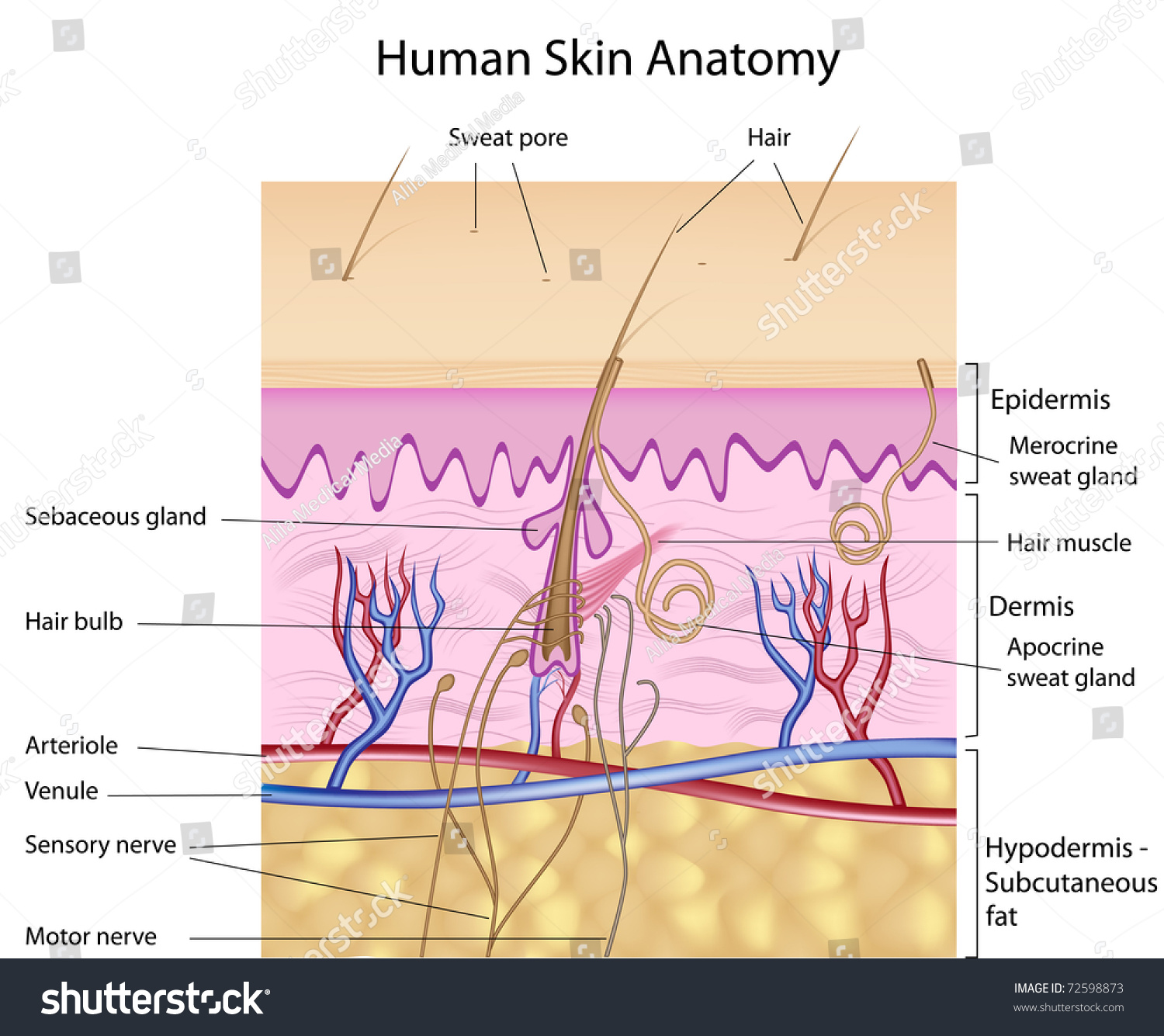 Human Skin Anatomy Detailed Accurate Labeled Stock