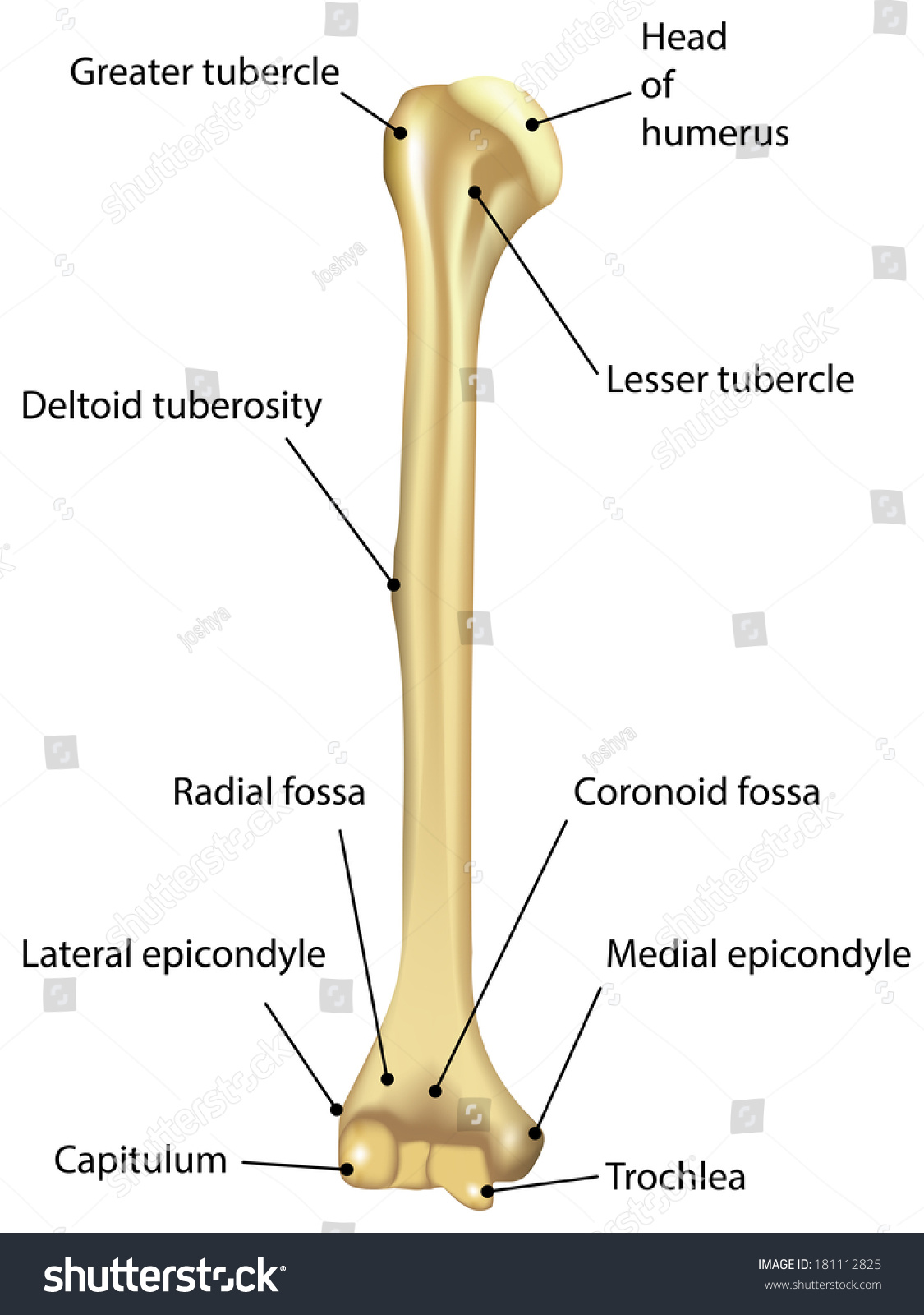 Humerus Labeled Diagram Stock Illustration