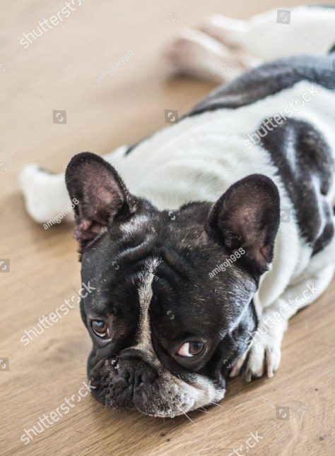 stock-photo-lazy-french-bulldog-lying-on-the-floor-469096256