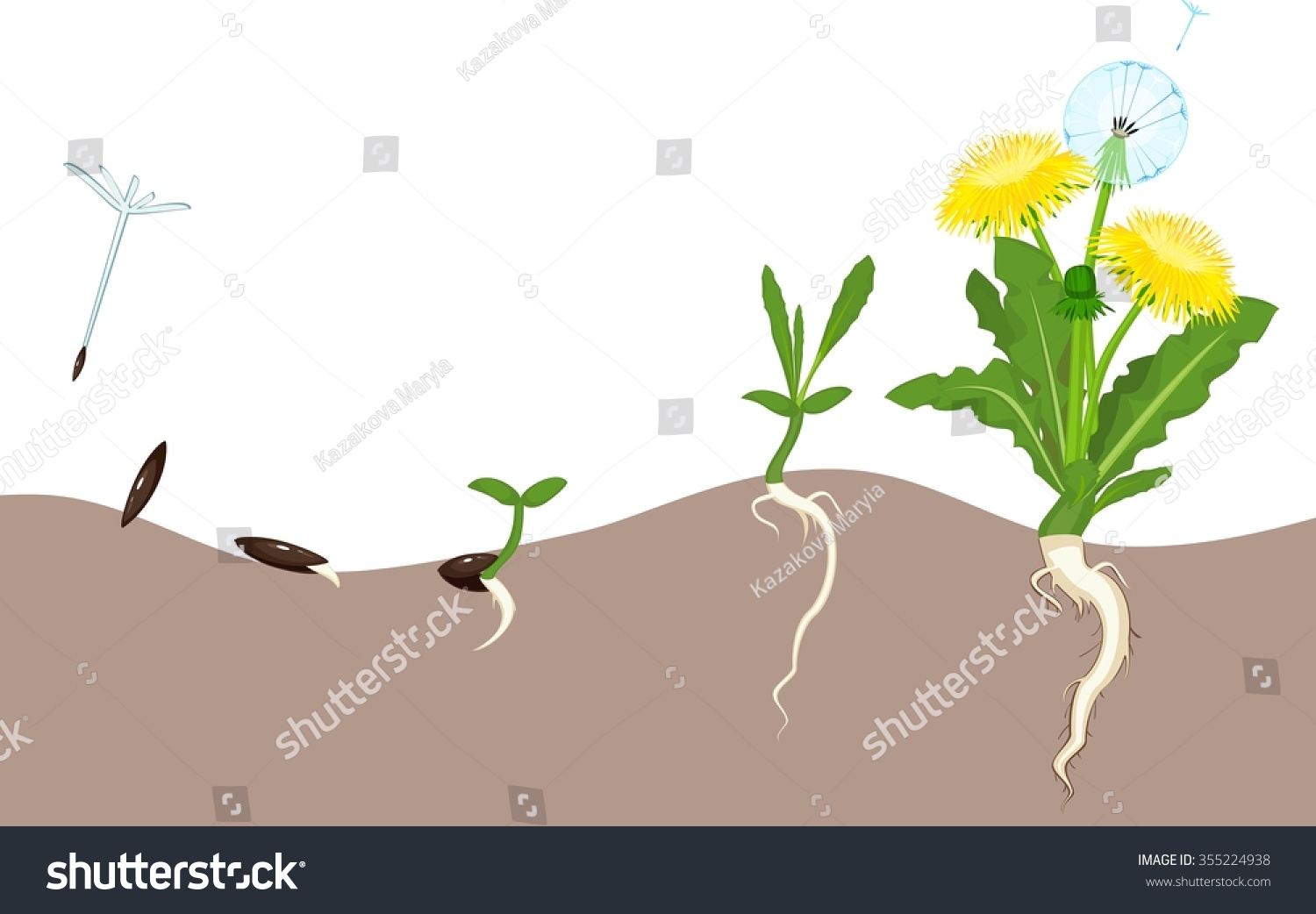 Life Cycle Dandelion Stock Illustration