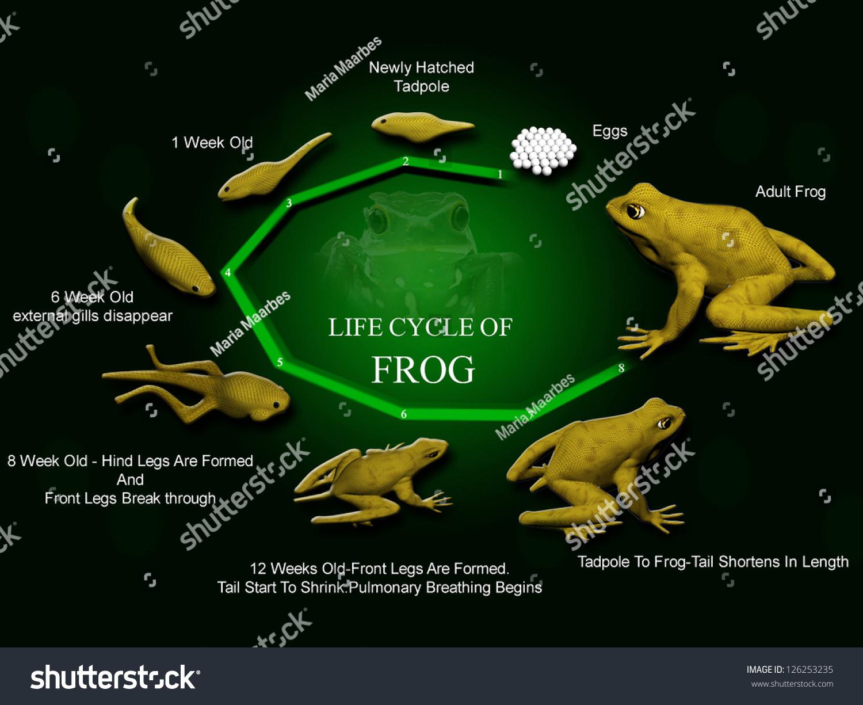 Life Cycle Of Frog Metamorphose Hyla Rana Arborea Eggs