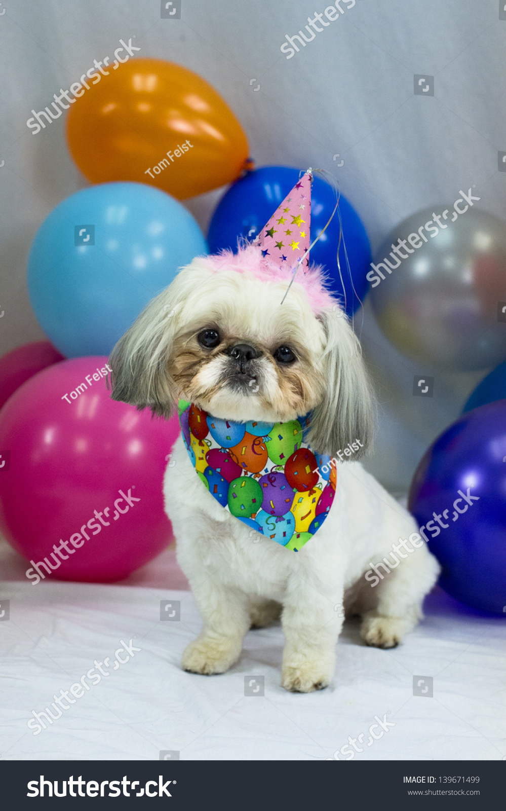 Little White Dog Wearing Birthday Hat Surrounded By Balloons Stock Photo 139671499 Shutterstock