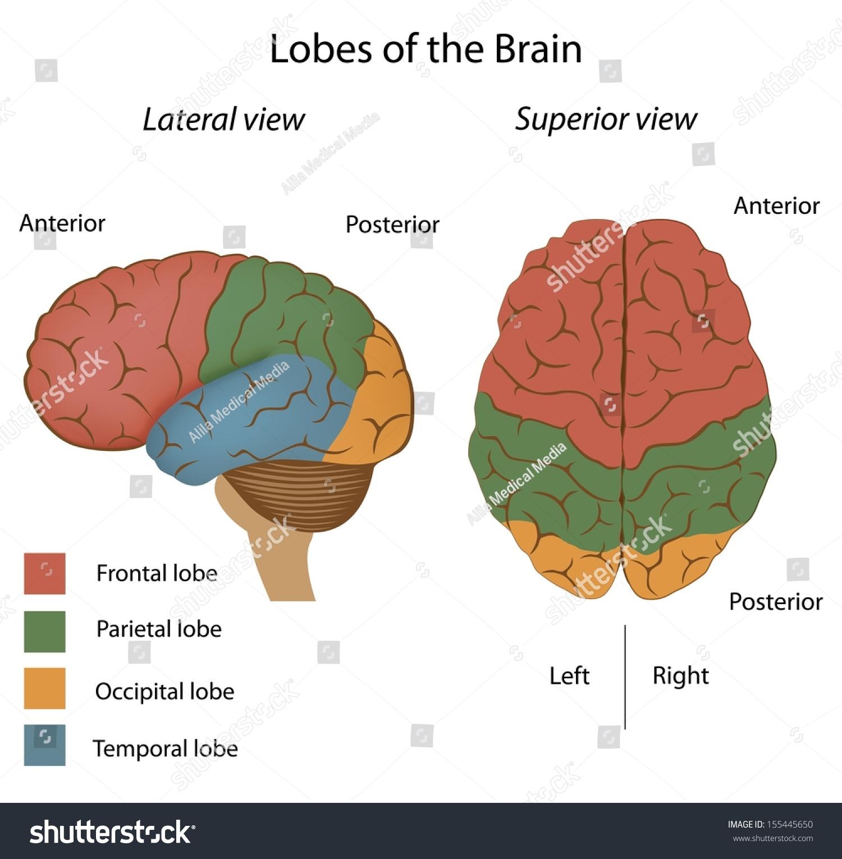 Lobes Brain Stock Illustration