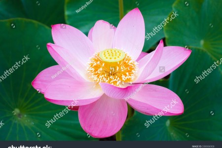 Symbol of lotus flower in buddhism beautiful flowers 2018 its base lotus flowers symbols in buddhism the lotus flower buddhist symbols and their meanings mythologian net buddhist symbols and their meanings the mightylinksfo