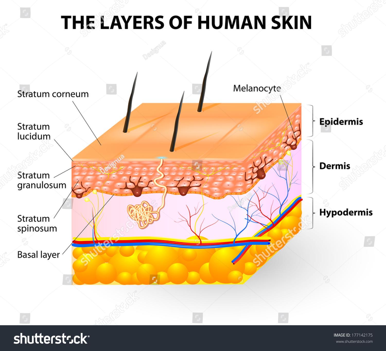 Melanocyte Melanin Layers Human Skin Stock Illustration