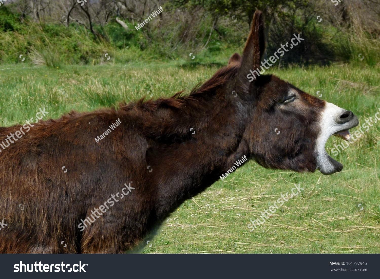 Mule Making A Noise Stock Photo 101797945 : Shutterstock