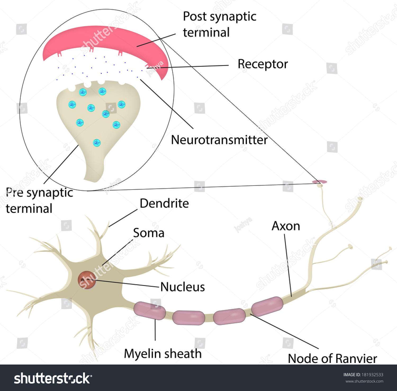 Neuron Synapse Labeled Diagram Stock Illustration
