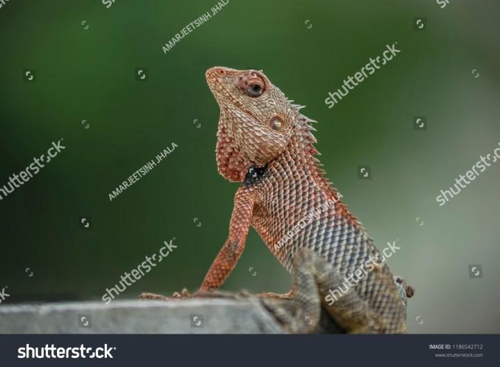 oriental garden lizard calotes versicolor groundcolour stock