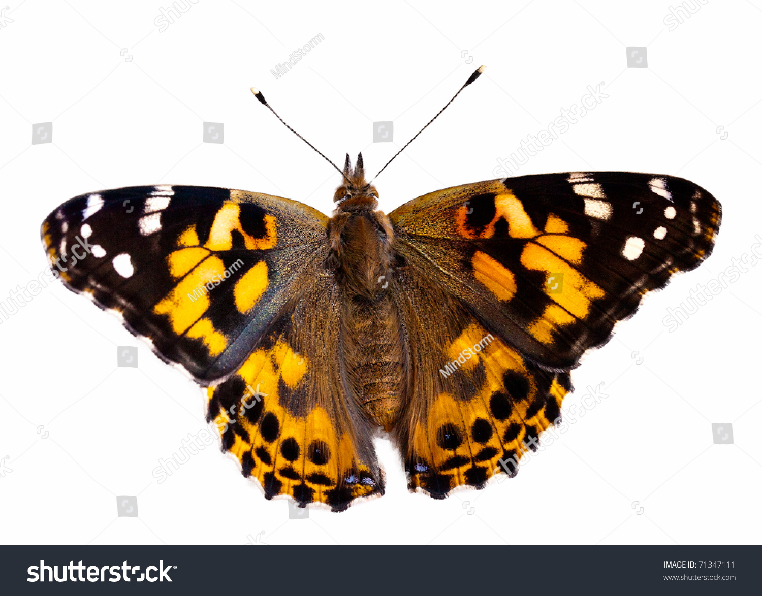 Painted Lady Butterfly On White Background Stock Photo