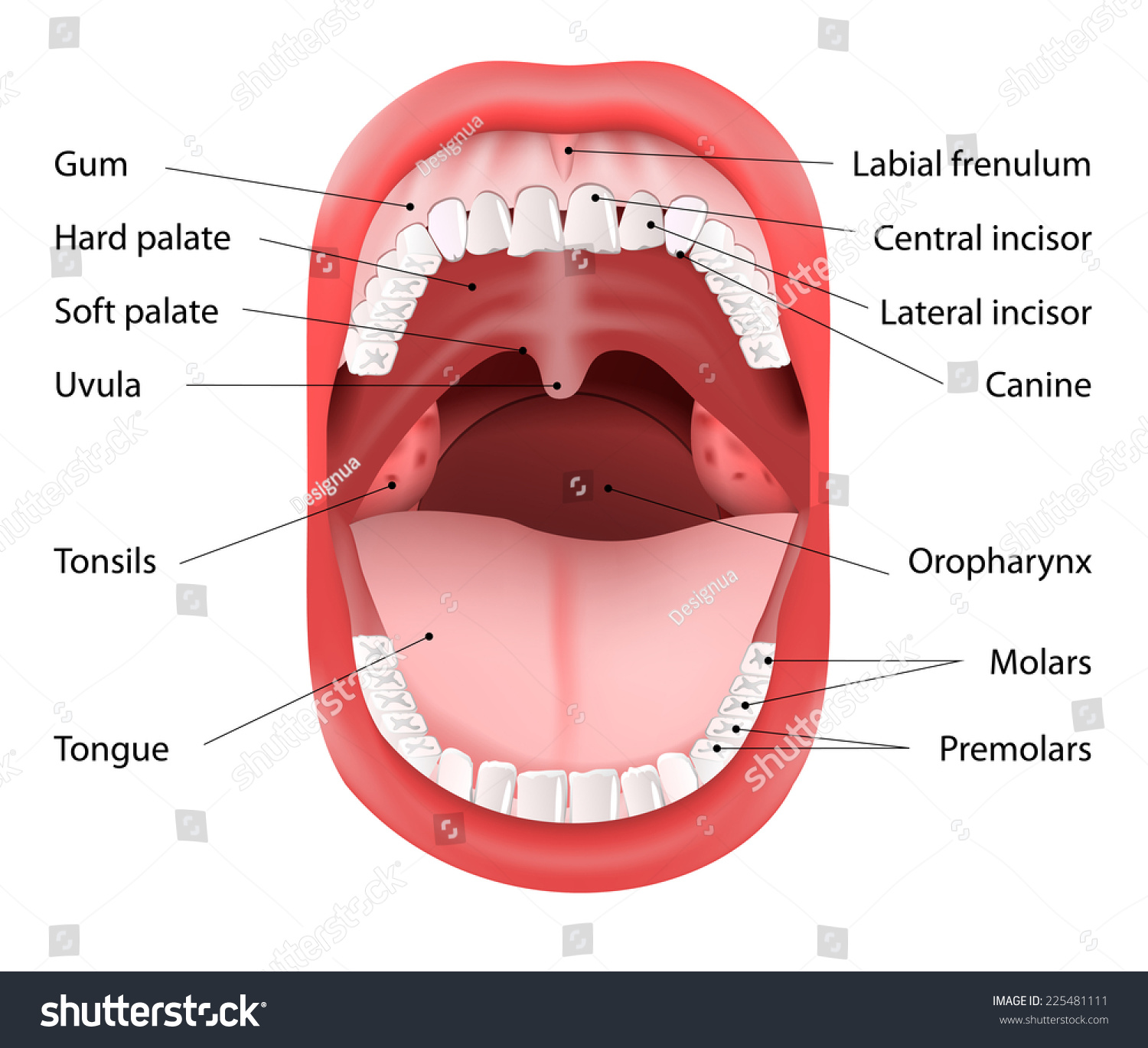 Parts Human Mouth Open Mouth White Stock Illustration
