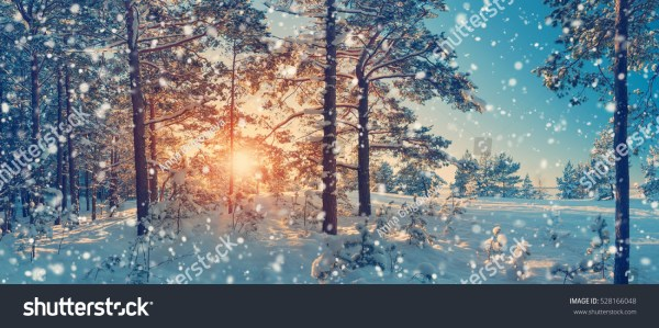 Pine Trees Covered Snow On Frosty Stock Photo 528166048 ...