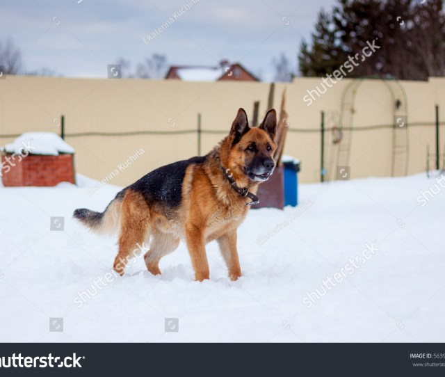 Portrait Of A German Shepherd Redhead With Black Dog Stands In The Snow A