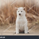 Portrait White Cream Puppy Shiba Inu Stock Photo Edit Now 1376305328