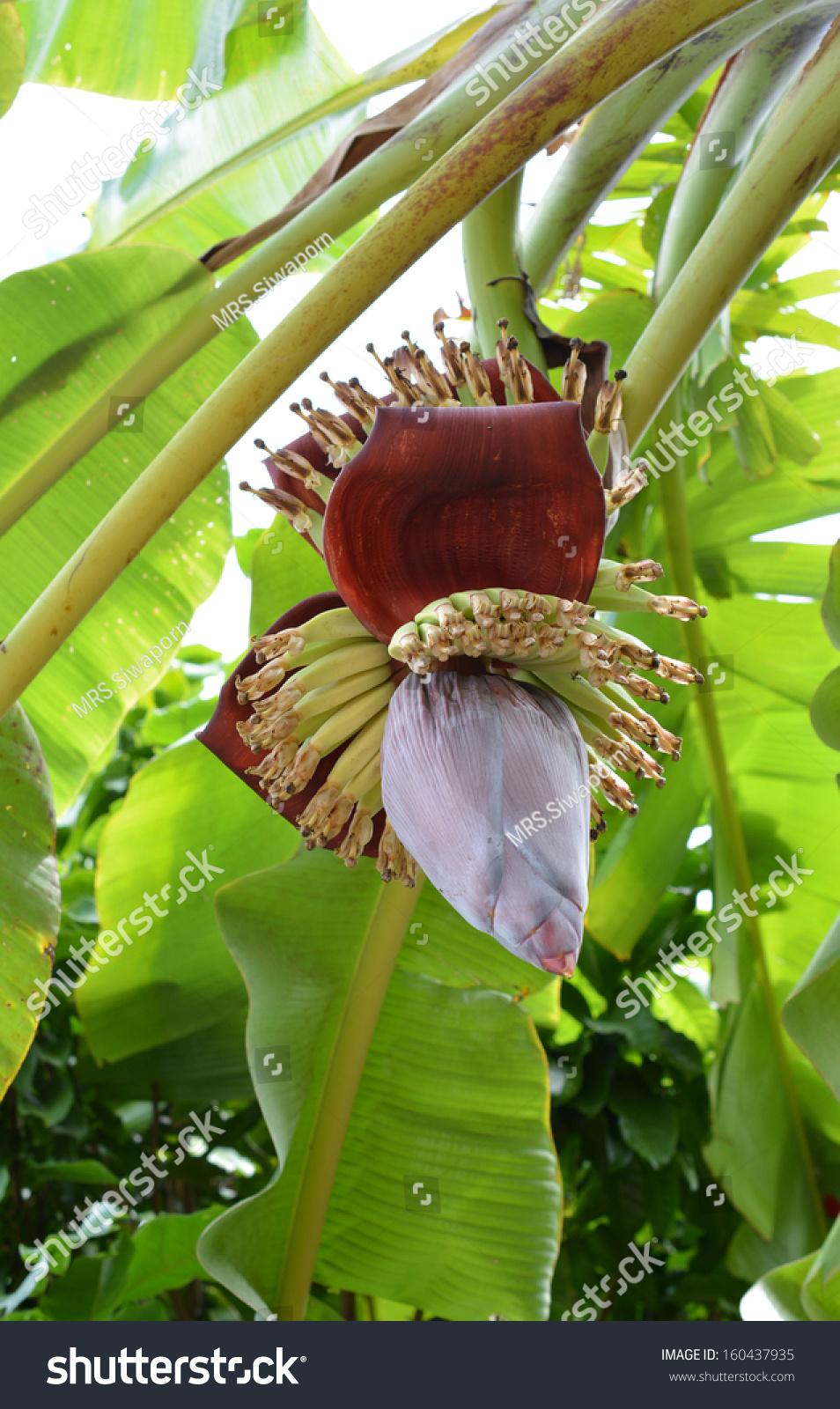 Red Banana Blossom See The Small Green Bananas Stock Photo 160437935 : Shutterstock