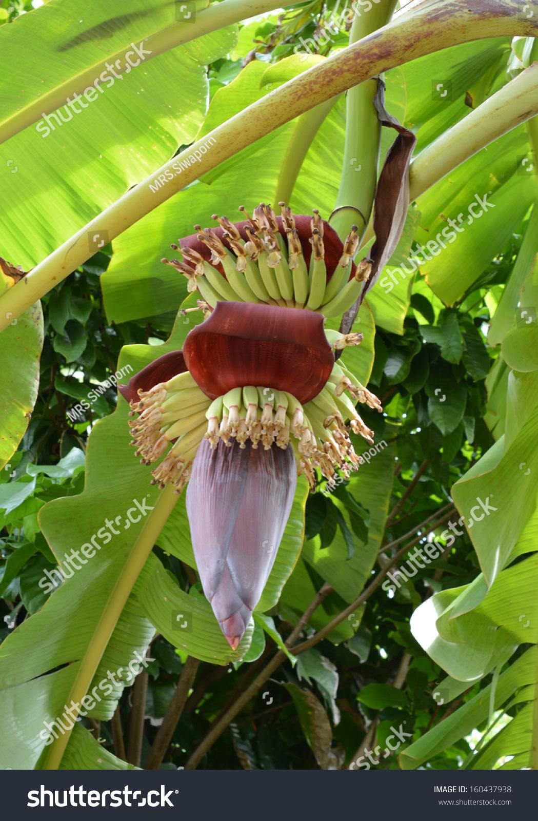Red Banana Blossom See The Small Green Bananas Stock Photo 160437938 : Shutterstock