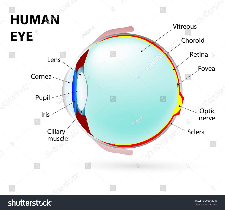 Schematic Diagram Eye Human Anatomy Labeled Stock