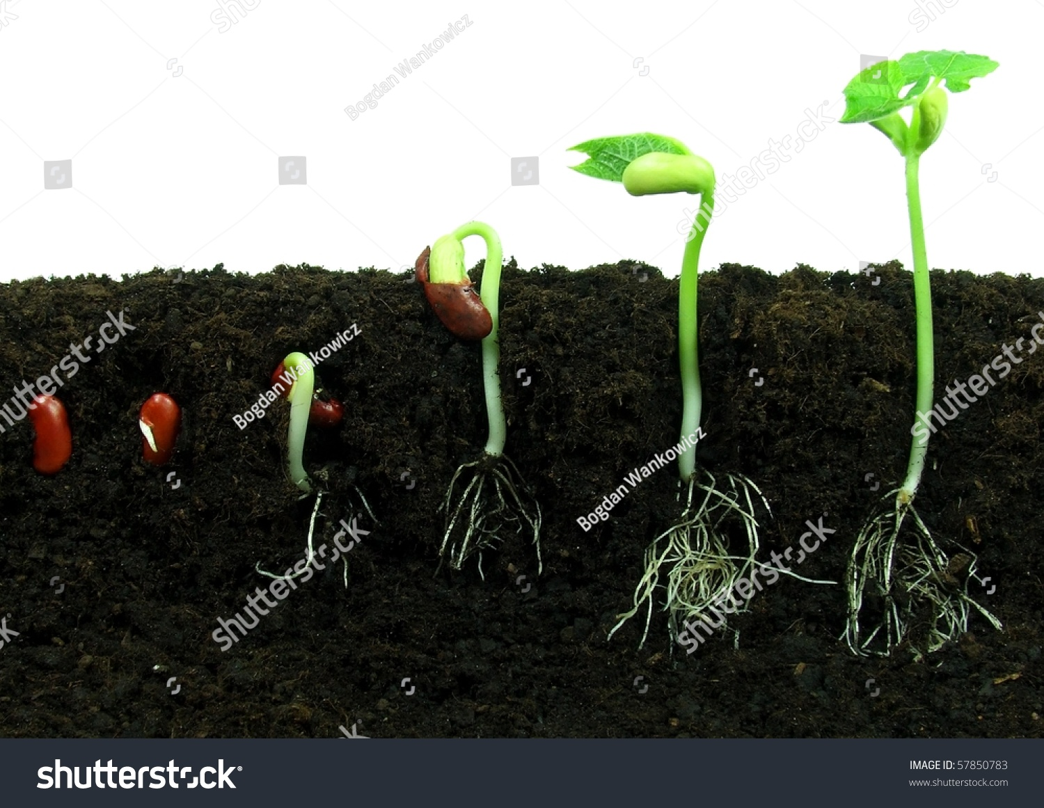 Sequence Of Bean Seeds Germination In Soil Stock Photo Shutterstock