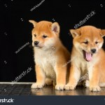 Shiba Inu Two Red Puppies Sits Stock Photo Edit Now 768501319