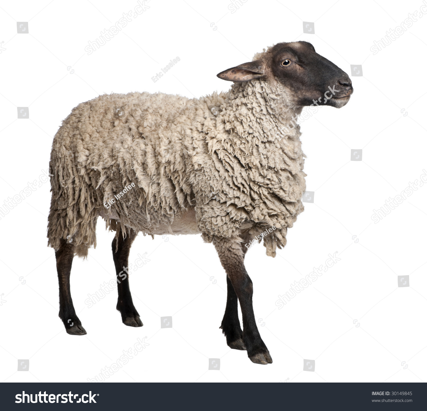 Side View Of A Suffolk Sheep